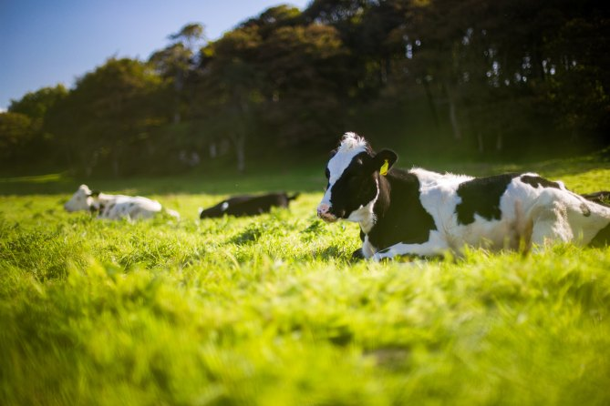 VIDEO: Cow poopens